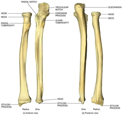 Quiz 4 - Anatomy & Physiology 2040 with Smtih at