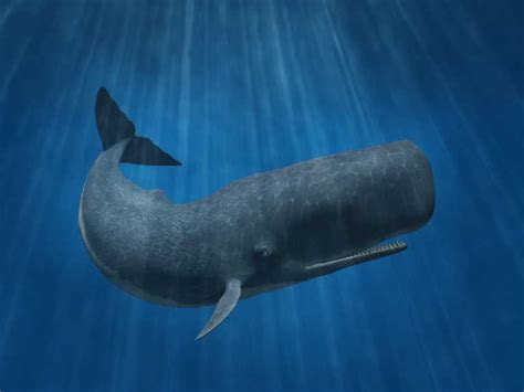 Sperm Whale (Physeter macrocephalus) | The Earth Times