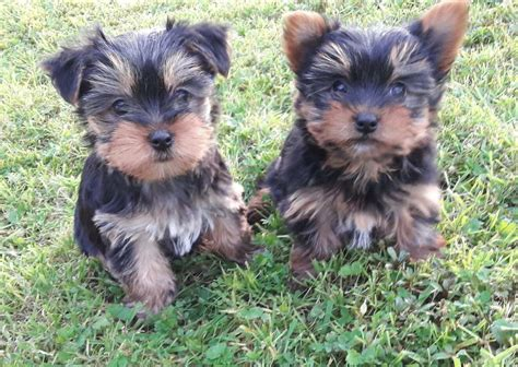 mini yorkshire terrier puppies (miniature yorkie) can be