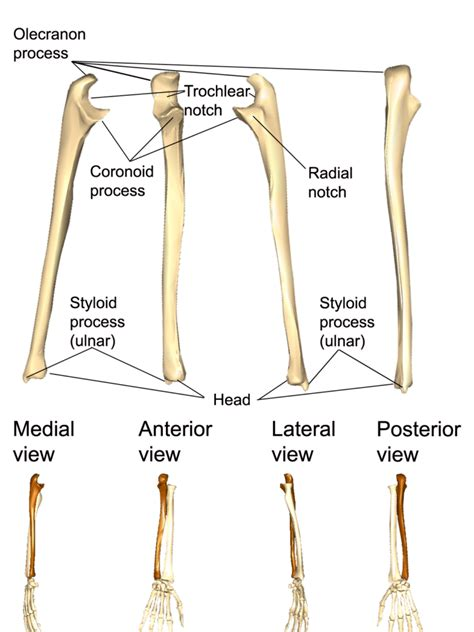 The upper limbs   Human Anatomy and Physiology Lab (BSB 141)