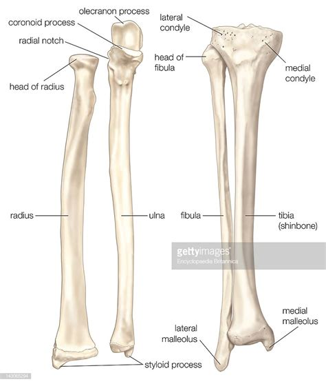 Bones Of The Forearm And Lower Leg, The Radius And The