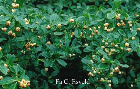 Pictures and description of Euonymus fortunei Vegetus